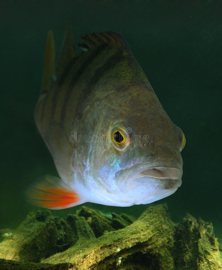 Free The European Perch (Perca Fluviatilis). Royalty Free Stock Image - 29324596
