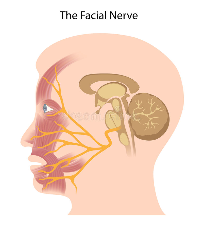 Free The Facial Nerve Royalty Free Stock Photo - 28927875