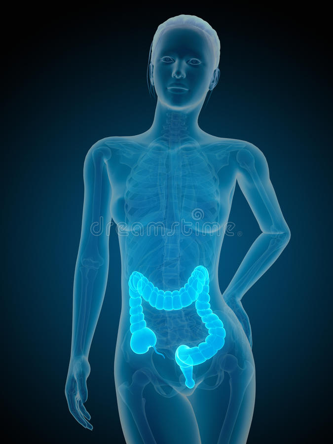 Free The Female Colon Royalty Free Stock Photography - 38959097