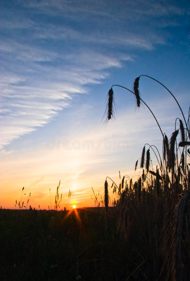 Free The Field Of Rye Royalty Free Stock Photography - 9672607