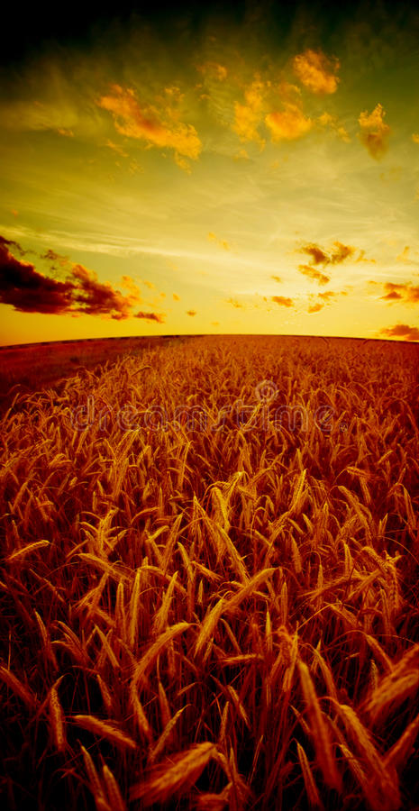 Free The Field Of Rye Royalty Free Stock Image - 9748836
