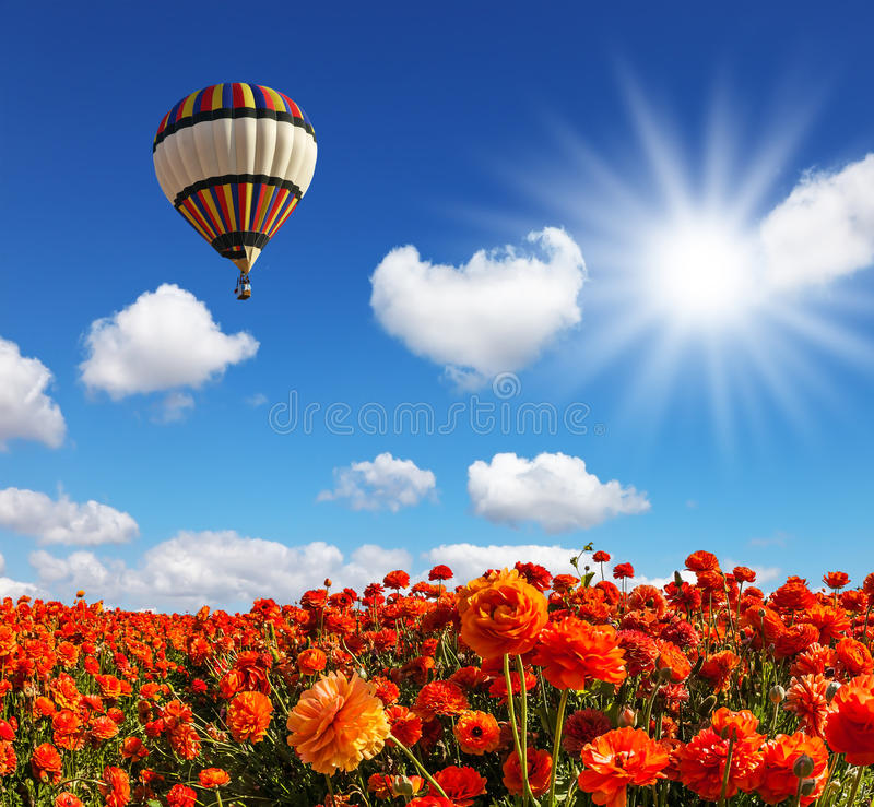 Free The Fields Of Red Garden Buttercups Stock Photos - 92958343