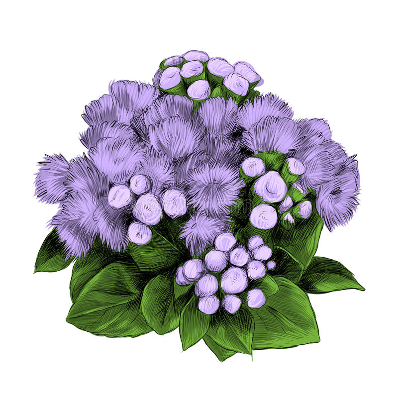 Free The Flower Bush Bouquet Ageratum Sketch Vector Royalty Free Stock Photography - 94899257