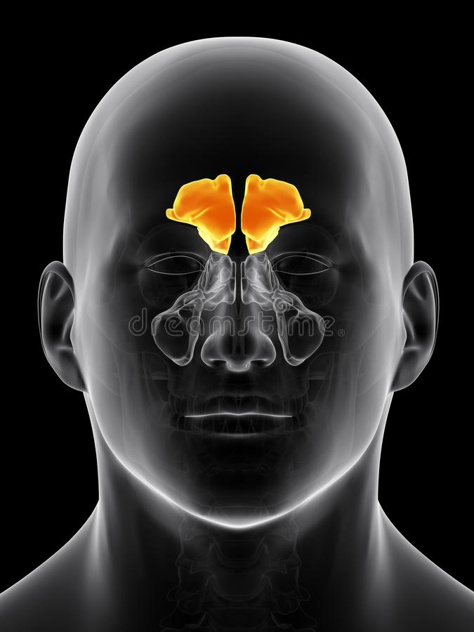 Free The Frontal Sinus Stock Image - 57843091