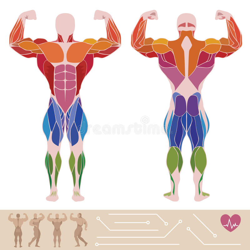 Free The Human Muscular System, Anatomy, Posterior And Anterior View, Stock Images - 56971264