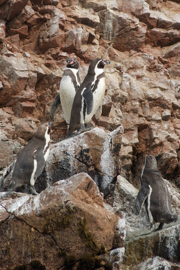 Free The Humboldt Penguins Royalty Free Stock Images - 7547699
