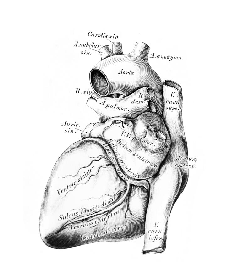 Free The Illustration Of The Heart And The Big Vessels In The Old Book Die Anatomie Des Menschen, By C. Heitzmann, 1875, Wien Stock Photos - 180232993