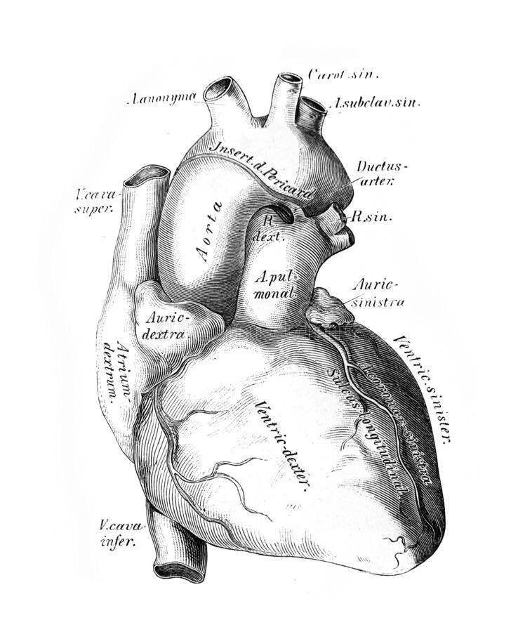Free The Illustration Of The Heart And The Big Vessels In The Old Book Die Anatomie Des Menschen, By C. Heitzmann, 1875, Wien Stock Photography - 180233002