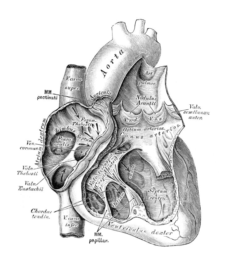 Free The Illustration Of The Heart In The Section In The Old Book Die Anatomie Des Menschen, By C. Heitzmann, 1875, Wien Royalty Free Stock Photography - 180232987