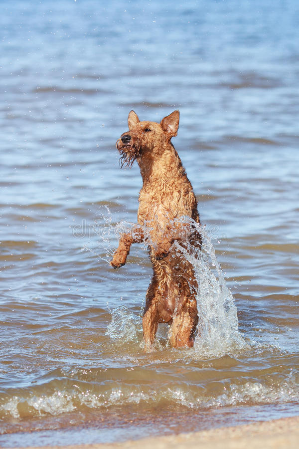 Free The Irish Terrier Jumps Out Of The Water. Summer. Royalty Free Stock Photos - 97981618