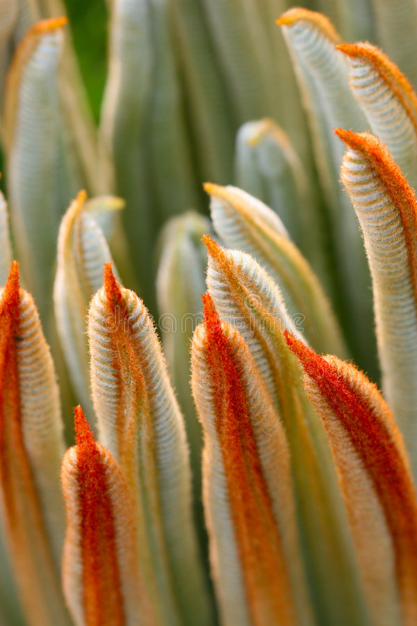 Free The Leaves Of Cycas Revoluta Stock Photography - 5141662