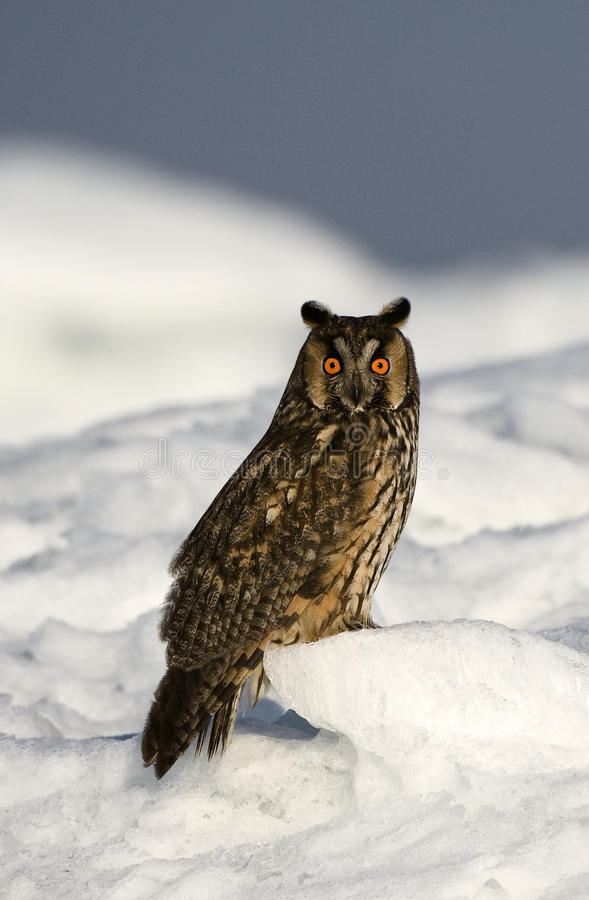 Free The Long-eared Owl. Stock Images - 15615264