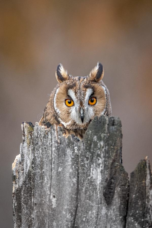 Free The Long-eared Owl, Also Known As The Northern Long-eared Owl Royalty Free Stock Image - 136737746