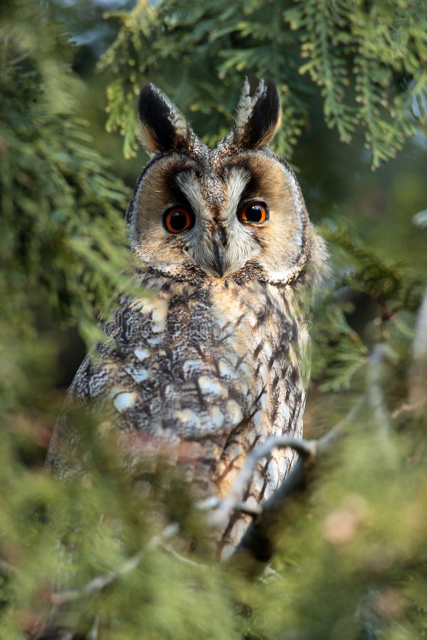 Free The Long-eared Owl (Asio Otus) On The Tree Royalty Free Stock Image - 36414846