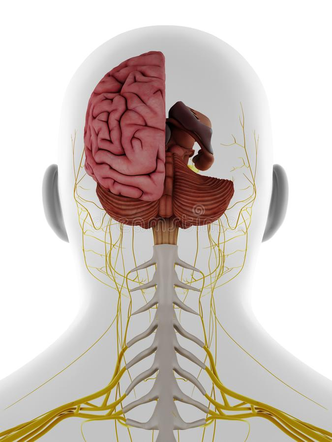Free The Posterior Of The Brain Stock Photography - 162289372