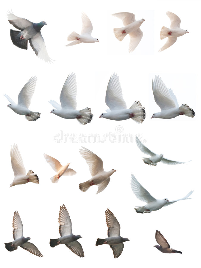 Free The Posture Of Pigeon Flight Royalty Free Stock Images - 7385999
