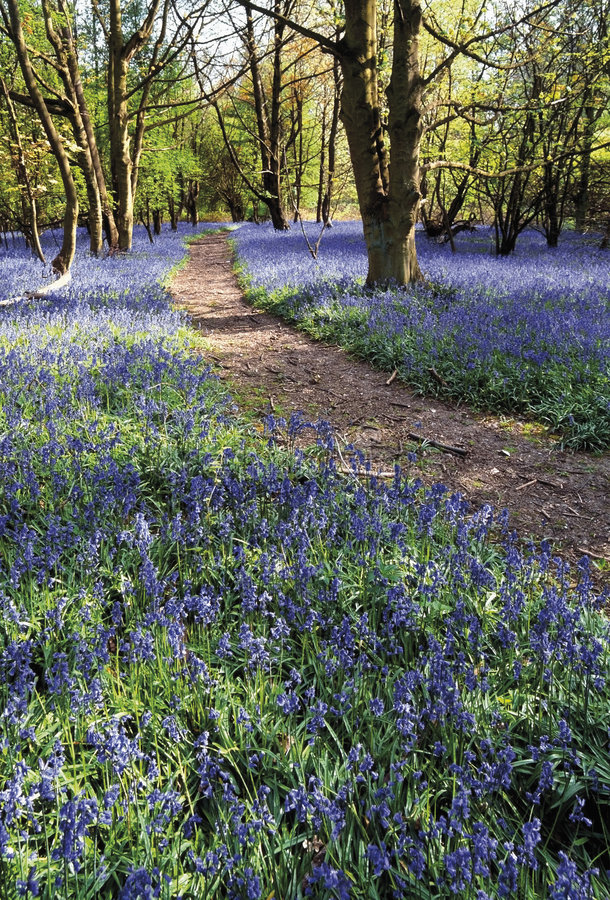 Free The Ridgeway Path Through Bluebell Wood Pitstone Hill The Chilterns Buckinghamshire Home Counties En Royalty Free Stock Photos - 1555028