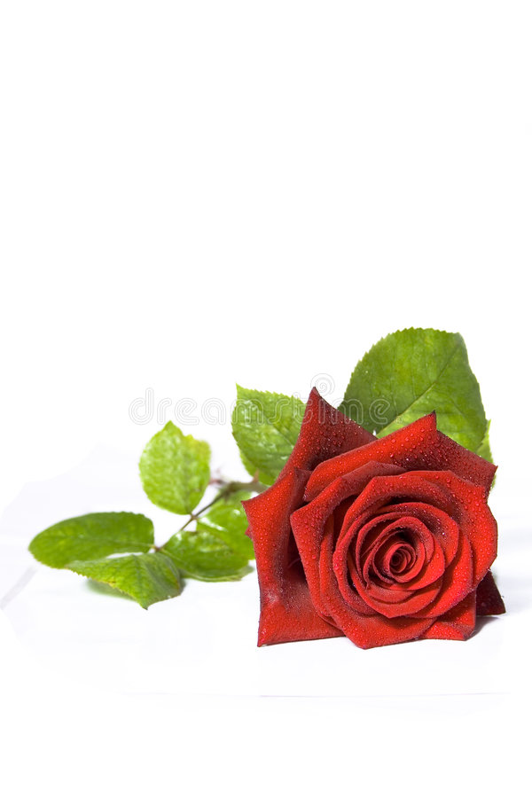 Free The Rose Royalty Free Stock Images - 5431439