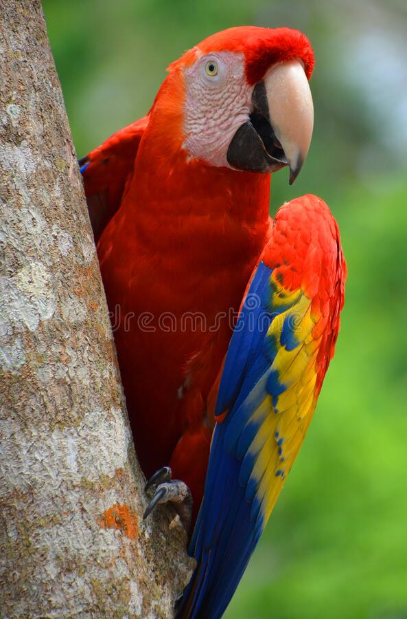 Free The Scarlet Macaw Is A Large, Red, Yellow And Blue South American Parrot, Stock Photography - 172298472