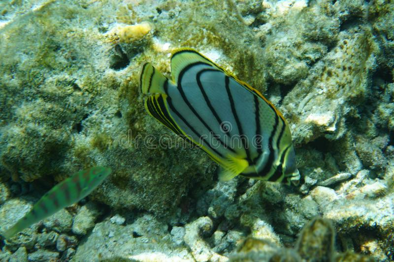 Scrawled butterflyfish Chaetodon meyeri. The Scrawled Butterflyfish Chaetodon meyeri is a species of butterflyfish family Chaetodontidae. It is found in stock photo