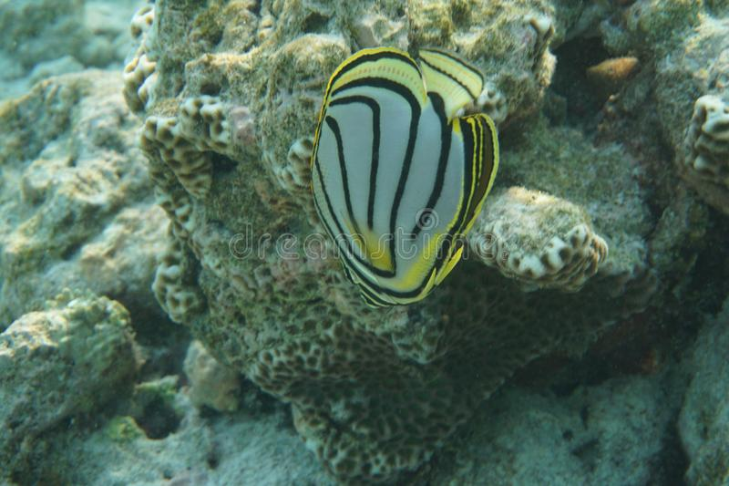 Scrawled butterflyfish Chaetodon meyeri. The Scrawled Butterflyfish Chaetodon meyeri is a species of butterflyfish family Chaetodontidae. It is found in stock images