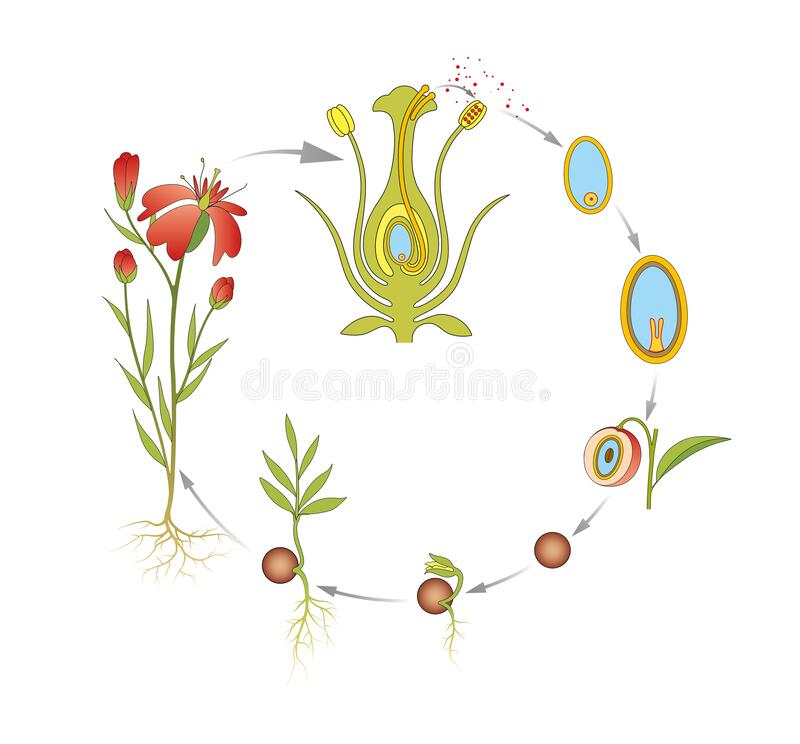 Free The Stages Of The Flower Life Cycle Royalty Free Stock Photo - 195237925