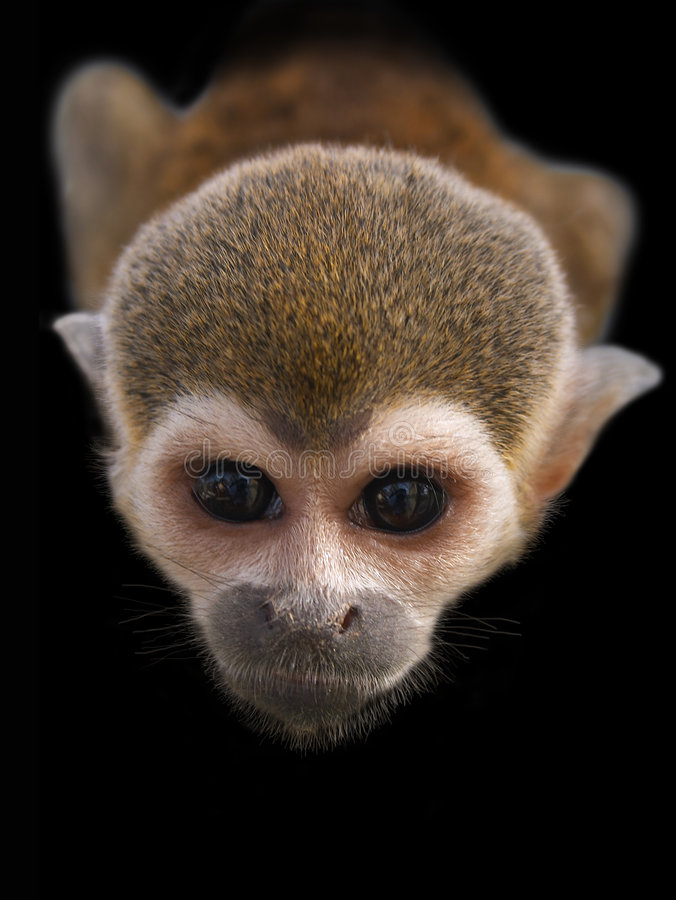 Free The Stare Of Curious Monkey Royalty Free Stock Images - 469159
