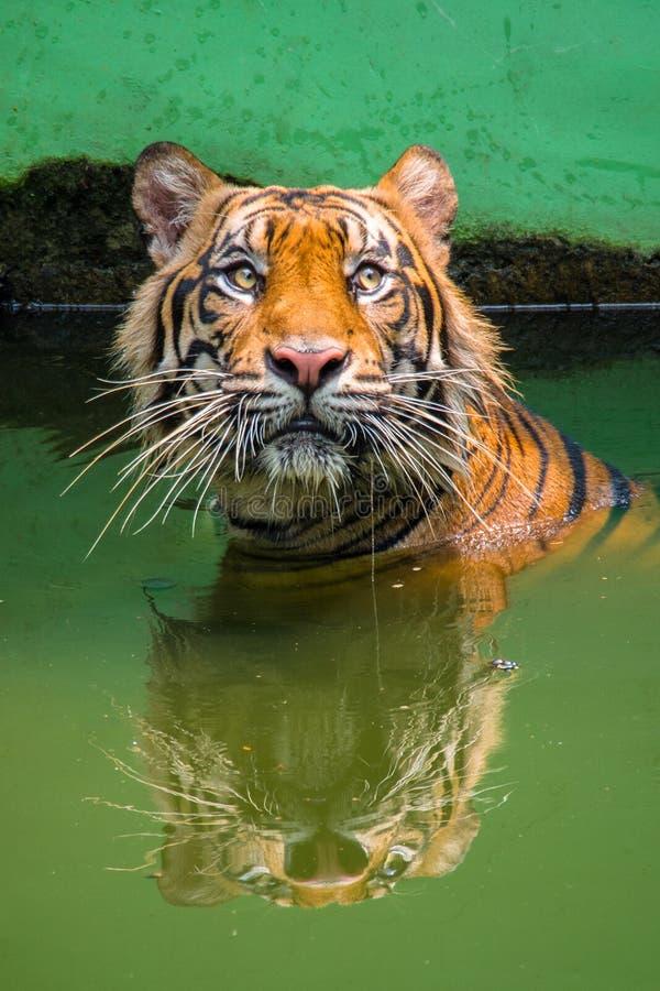 Free The Sumatran Tiger Swimming Royalty Free Stock Photography - 182891307