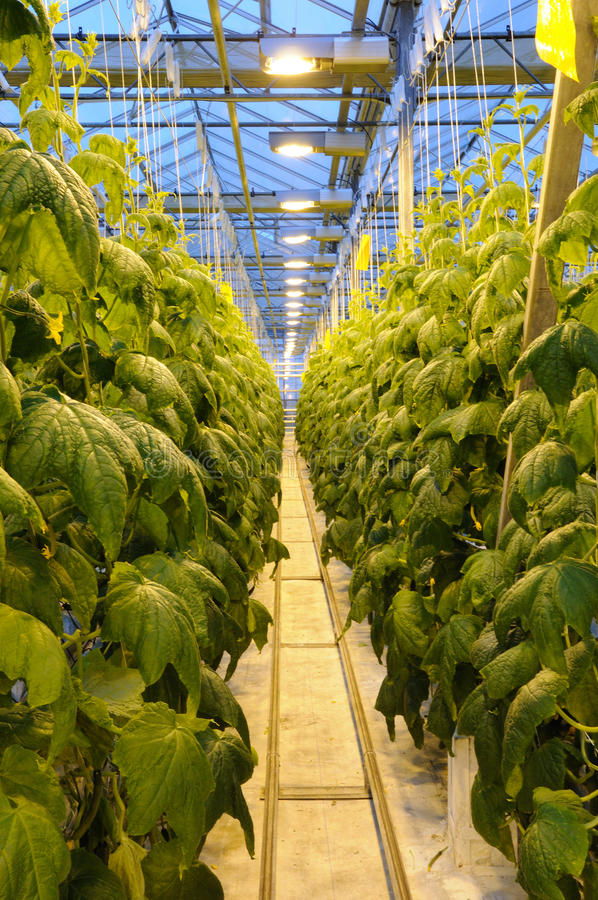 Free The Thicket Of Cucumber In The Greenhouse Royalty Free Stock Photo - 14152765