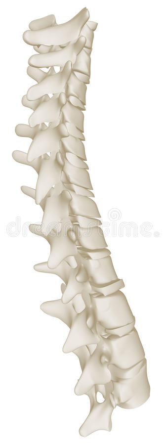 Free The Thoracic Curve Of The Human Spine Royalty Free Stock Image - 27075526