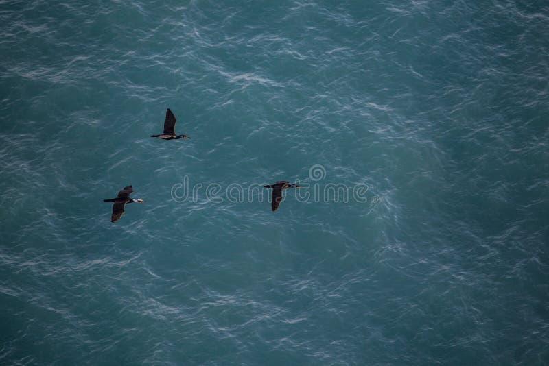 Thee czerni seagulls lata z wodą morską na tle zdjęcie stock