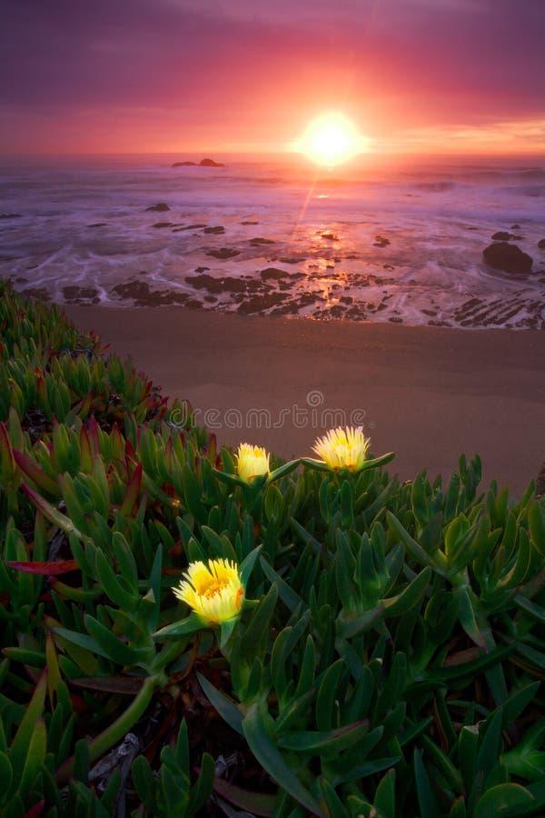 Thee Iceplants dans la Côte Pacifique photos libres de droits