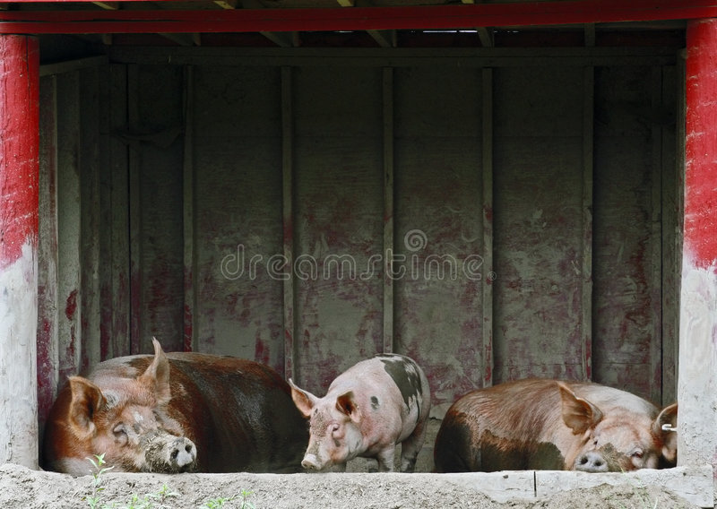 Thee Little Pigs stock photography