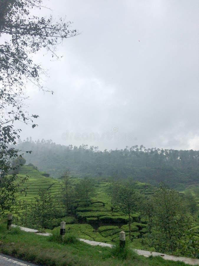 Theeaanplanting in Bandung, Indonesië stock foto