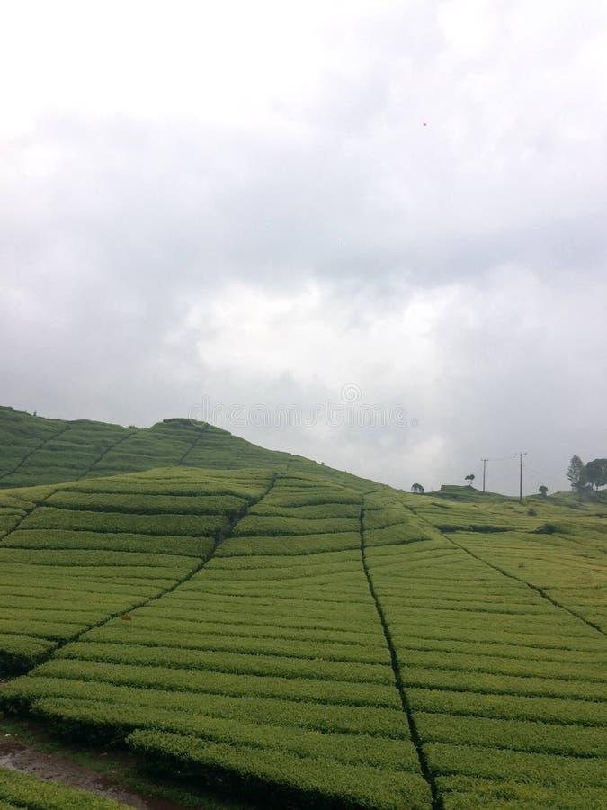 Theeaanplanting in Bandung, Indonesië stock afbeeldingen