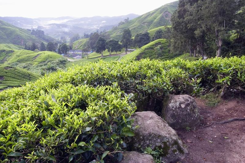 Theeaanplanting in Cameron Highlands stock foto