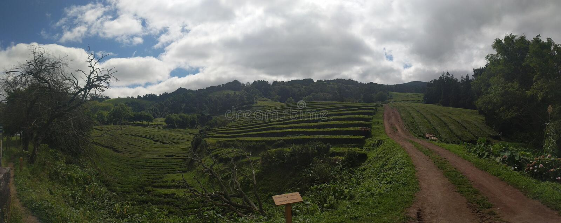 Theeaanplanting de Azoren royalty-vrije stock fotografie