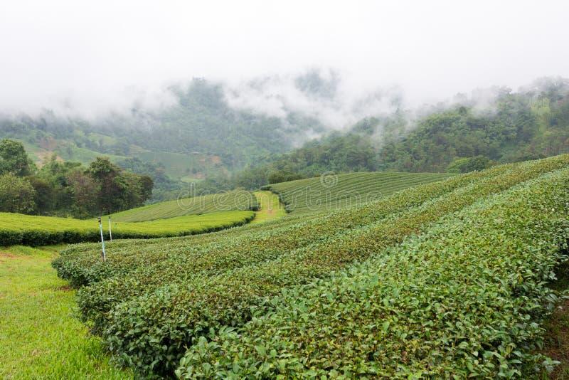Theeaanplanting in de bergen stock afbeeldingen