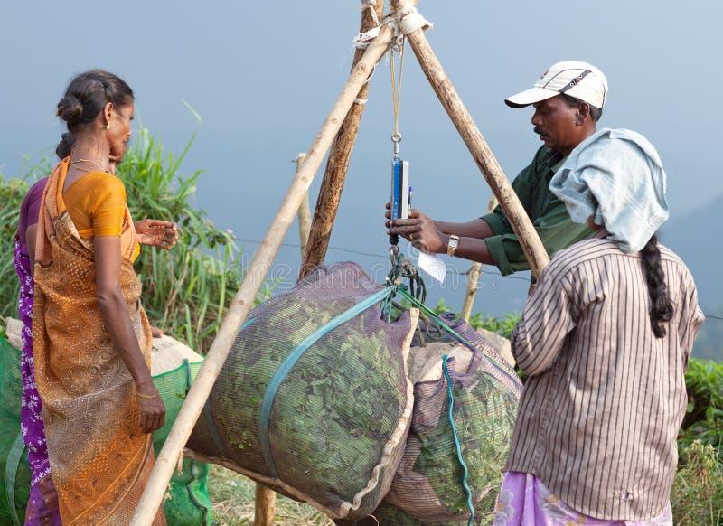 Theeaanplanting in Munnar, Kerala, Zuid-India stock fotografie