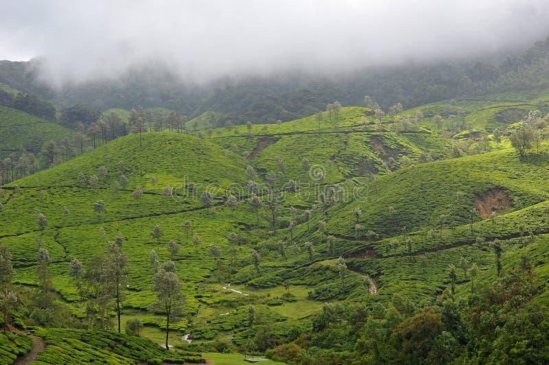 Theeaanplanting, Munnar, Kerala, Zuid-India stock afbeelding