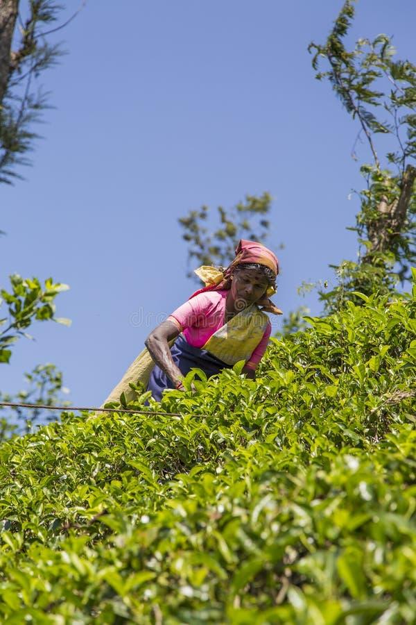 Theeaanplanting in Nuwara, Sri Lanka royalty-vrije stock afbeelding