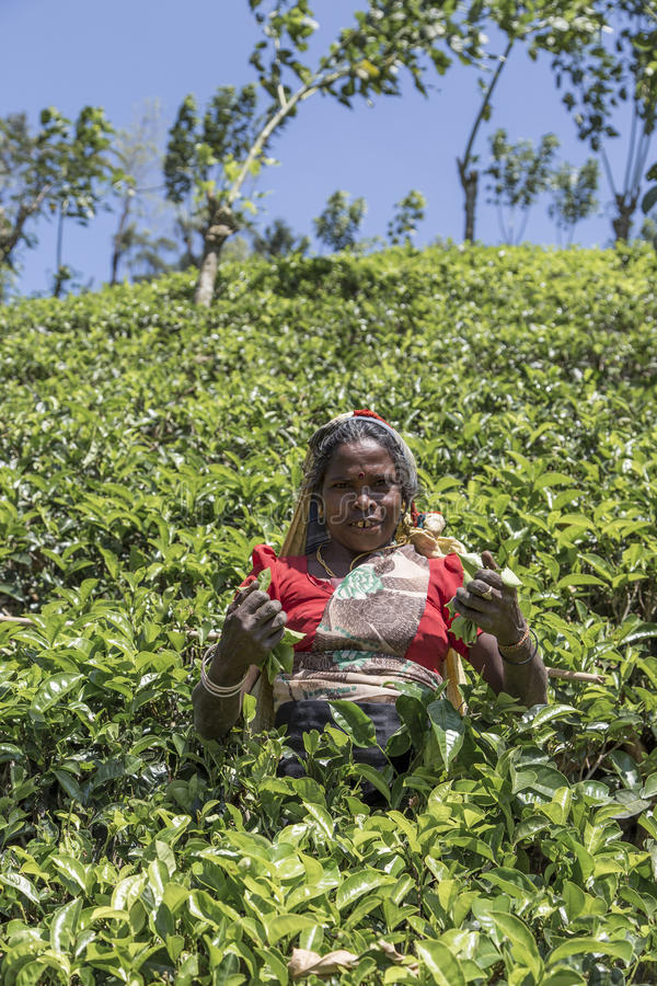 Theeaanplanting in Nuwara, Sri Lanka royalty-vrije stock fotografie