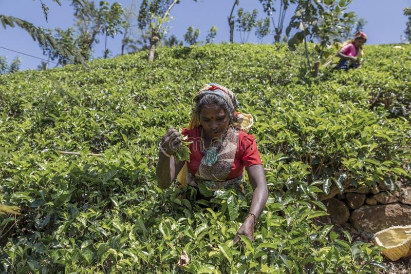 Theeaanplanting in Nuwara, Sri Lanka stock foto's