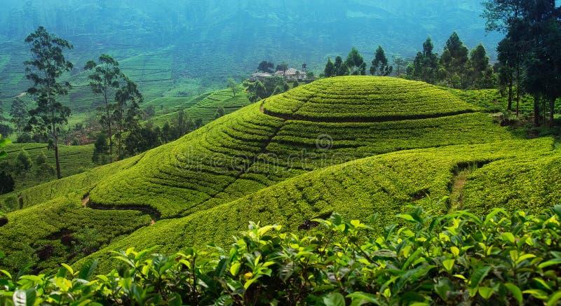 Theeaanplanting in omhooggaand land dichtbij Nuwara Eliya, Sri Lanka royalty-vrije stock afbeeldingen