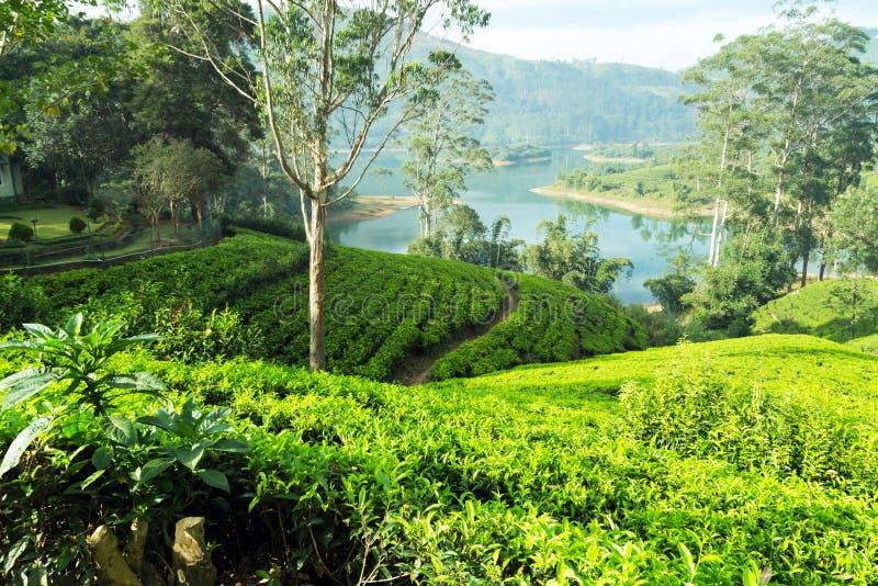 Theeaanplanting op de heuvel, Ceylon, Sri Lanka royalty-vrije stock afbeelding