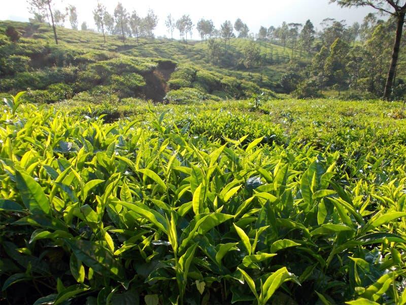 Theeaanplanting zo volledig van groen en het leven stock fotografie