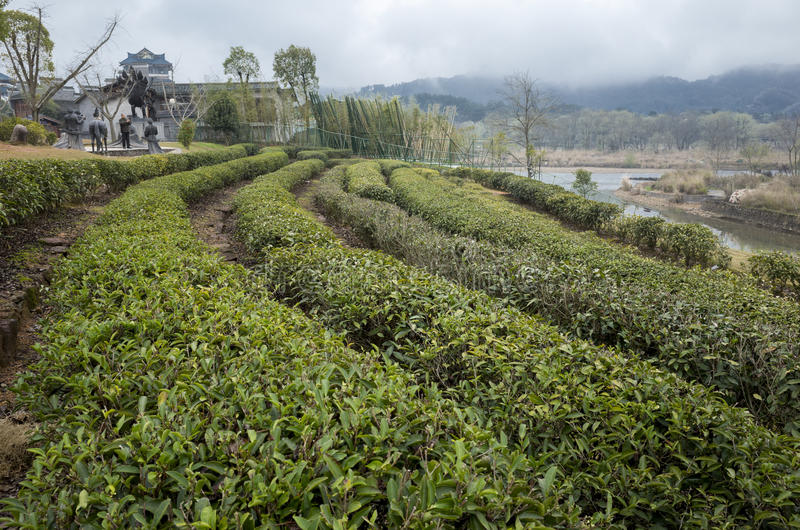 Theeaanplantingen royalty-vrije stock foto's