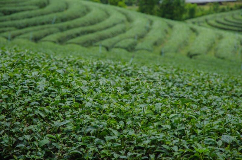 Theeaanplantingen stock foto's