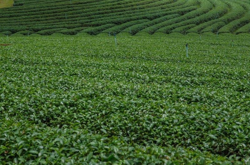 Theeaanplantingen royalty-vrije stock fotografie