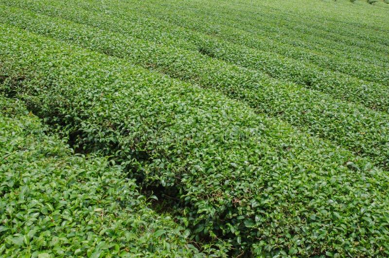 Theeaanplantingen stock fotografie